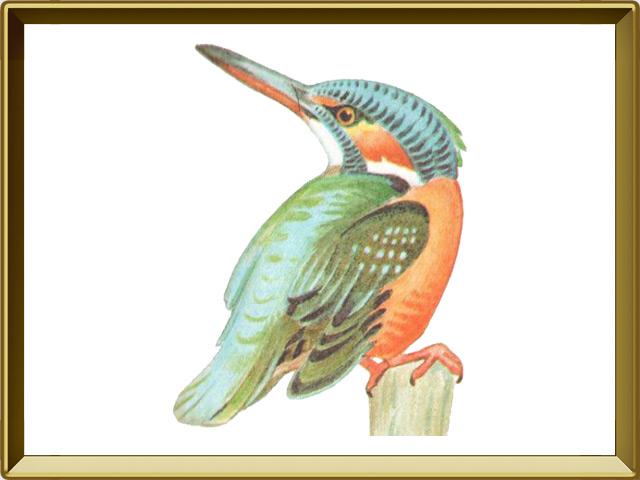 Зимородок — птица, фото в рамке №1