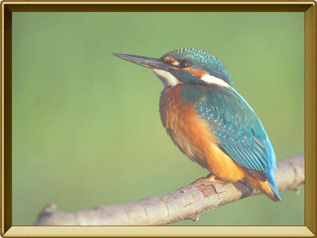 Зимородок — птица, фото в рамке №2