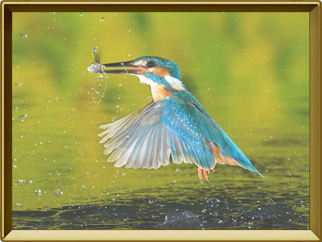 Зимородок — птица, фото в рамке №3