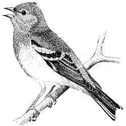 Зяблик — птица, картинка чёрно-белая