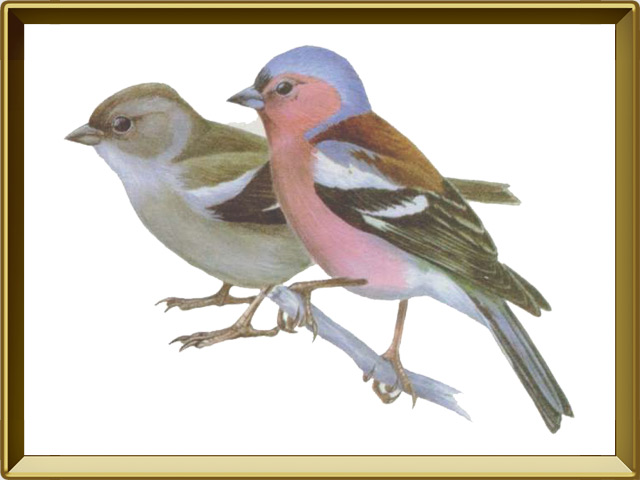 Зяблик — птица, фото в рамке №1