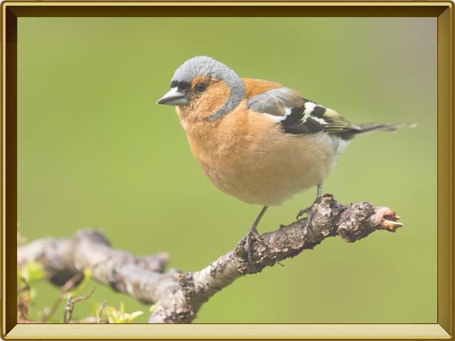 Зяблик — птица, фото в рамке №2