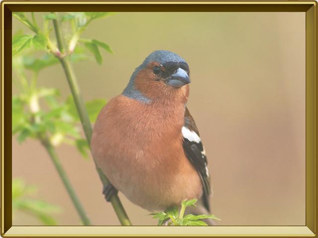 Зяблик — птица, фото в рамке №3