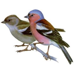 Зяблик — птица, картинка цветная