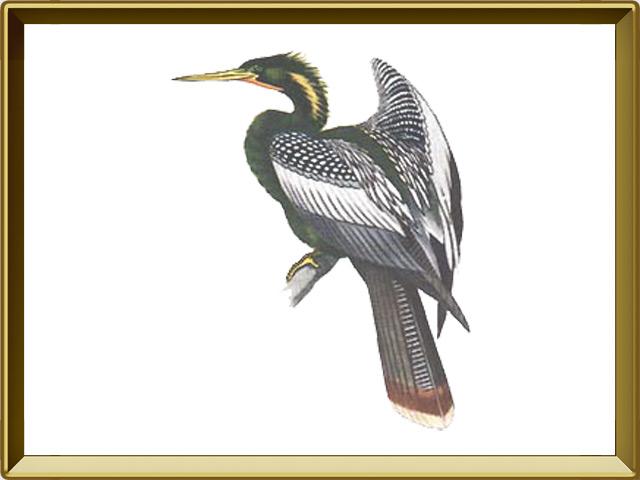 Змеешейка — птица, фото в рамке №1