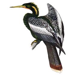 Змеешейка — птица, картинка цветная