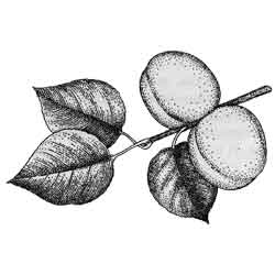 Абрикос — растение, картинка чёрно-белая
