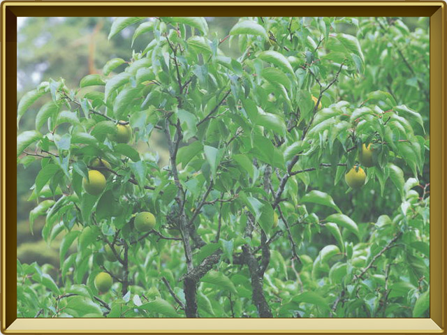 Абрикос — растение, фото в рамке №2