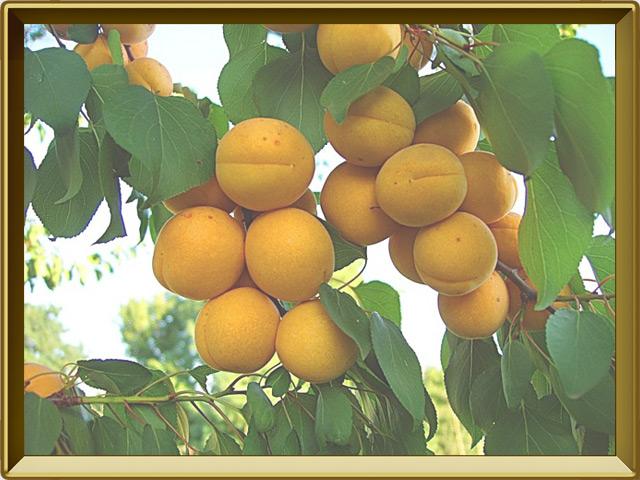 Абрикос — растение, фото в рамке №3