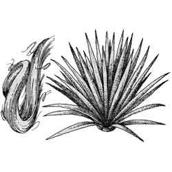 Агава — растение, картинка чёрно-белая