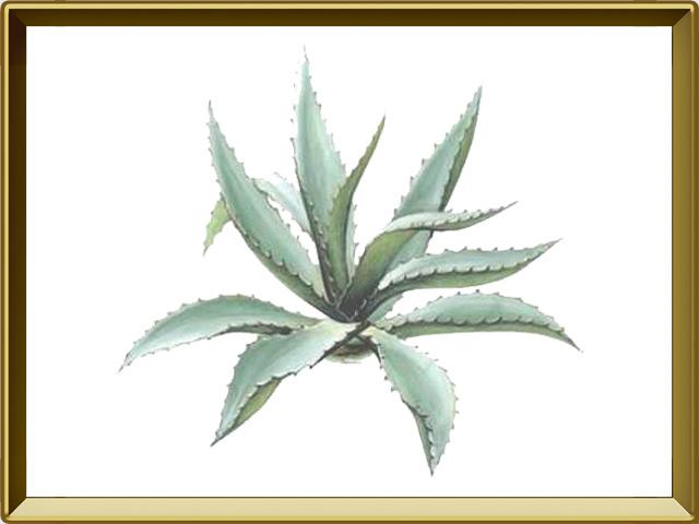 Агава — растение, фото в рамке №1