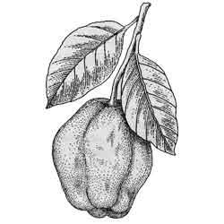 Айва — растение, картинка чёрно-белая