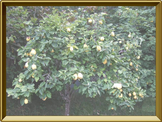 Айва — растение, фото в рамке №2