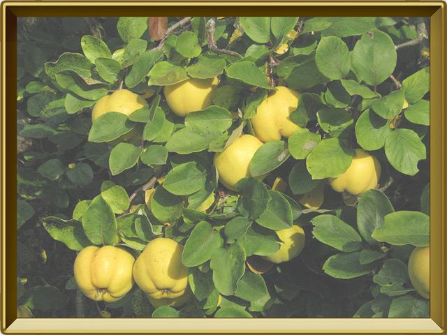 Айва — растение, фото в рамке №3