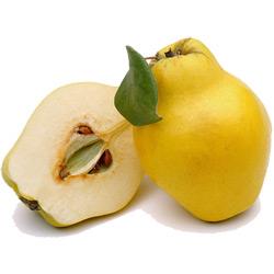 Айва — растение, картинка цветная