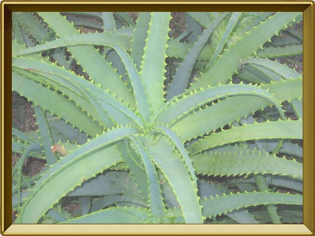 Алоэ — растение, фото в рамке №2