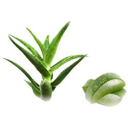 Алоэ — растение, картинка цветная