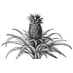 Ананас — растение, картинка чёрно-белая