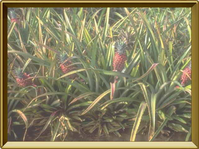 Ананас — растение, фото в рамке №2