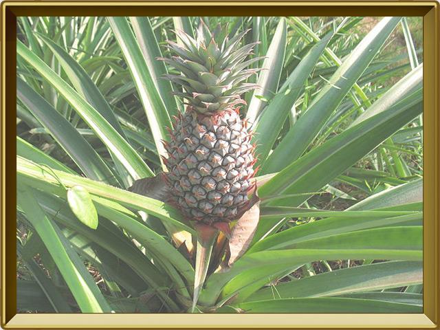 Ананас — растение, фото в рамке №3