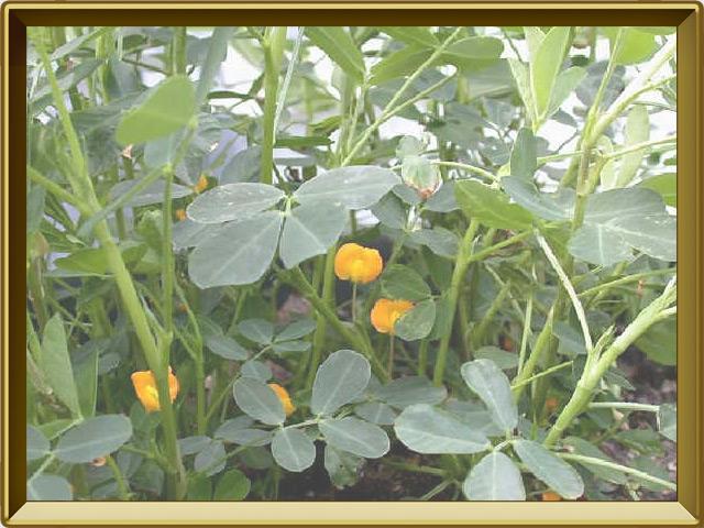 Арахис — растение, фото в рамке №2