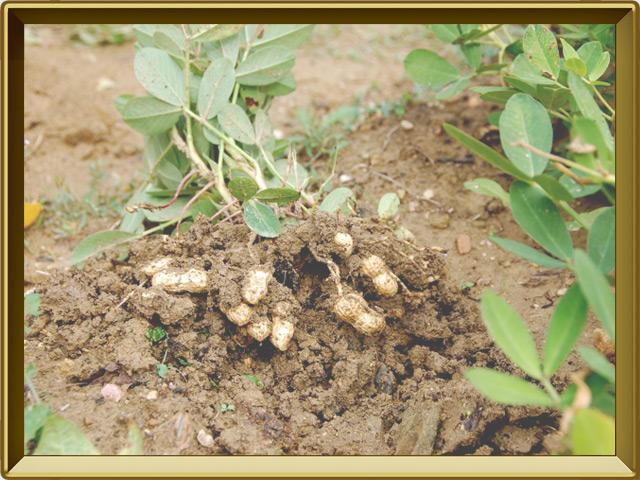 Арахис — растение, фото в рамке №3