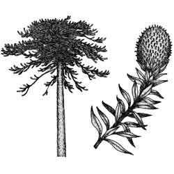 Араукария — растение, картинка чёрно-белая