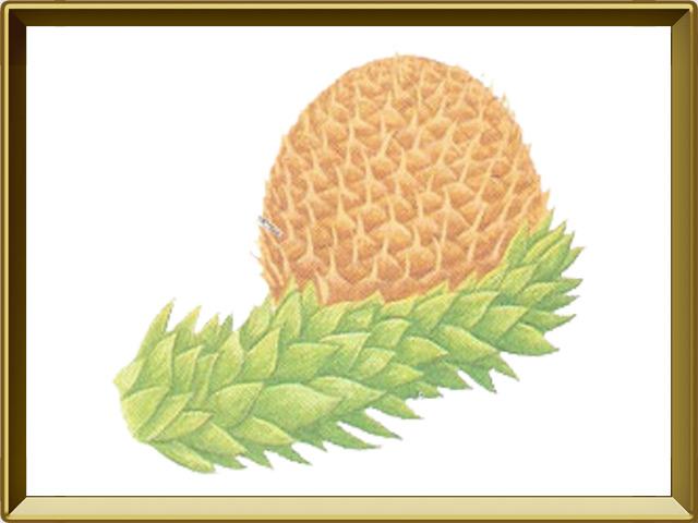 Араукария — растение, фото в рамке №1