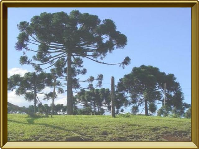 Араукария — растение, фото в рамке №2