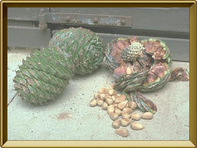 Араукария — растение, фото в рамке №3