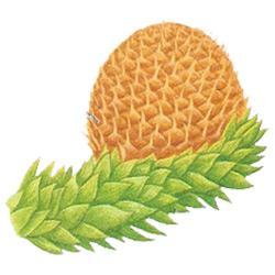 Араукария — растение, картинка цветная