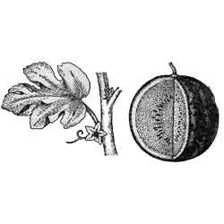 Арбуз — растение, картинка чёрно-белая