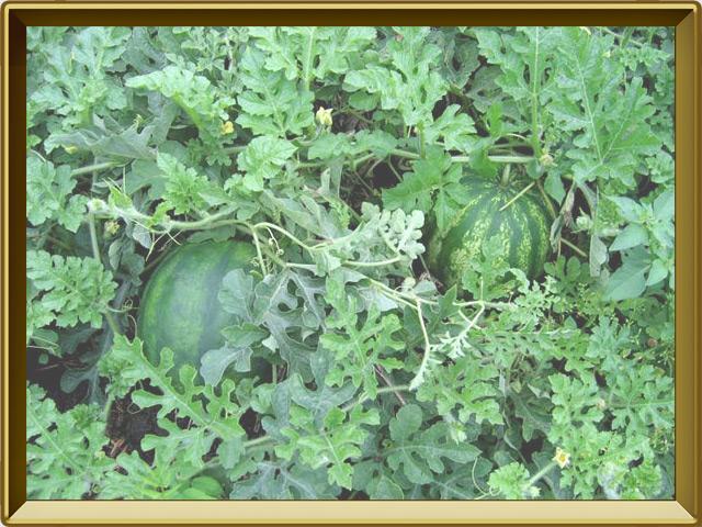 Арбуз — растение, фото в рамке №2