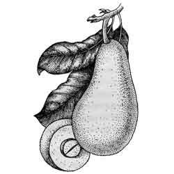Авокадо — растение, картинка чёрно-белая