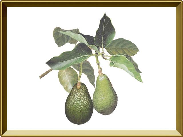Авокадо — растение, фото в рамке №1