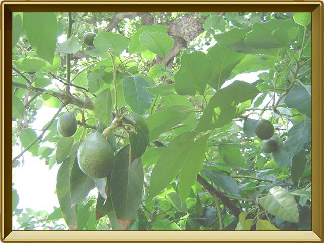 Авокадо — растение, фото в рамке №2