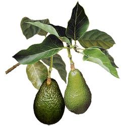 Авокадо — растение, картинка цветная