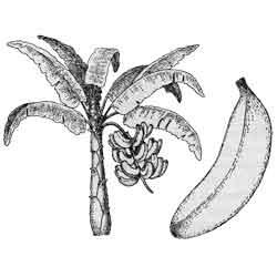 Банан — растение, картинка чёрно-белая