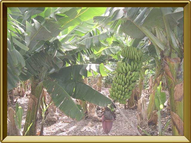 Банан — растение, фото в рамке №2