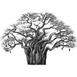 Баобаб — растение, картинка чёрно-белая