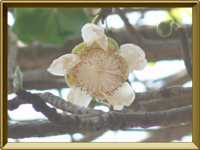 Баобаб — растение, фото в рамке №3