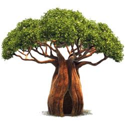 Баобаб — растение, картинка цветная