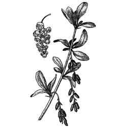 Барбарис — растение, картинка чёрно-белая