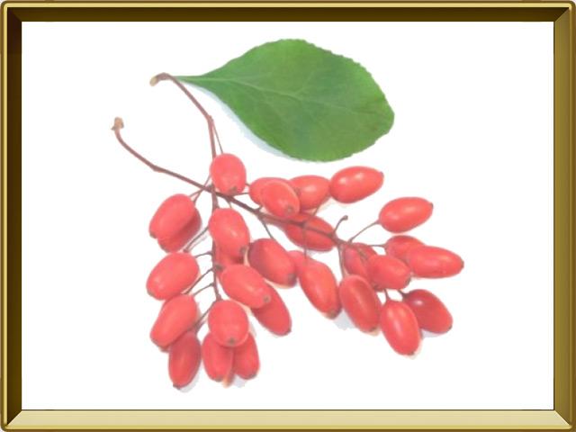 Барбарис — растение, фото в рамке №1