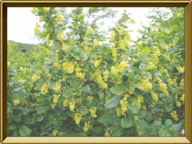 Барбарис — растение, фото в рамке №2