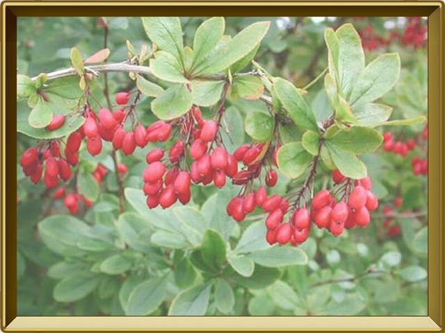 Барбарис — растение, фото в рамке №3