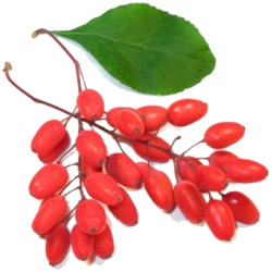 Барбарис — растение, картинка цветная