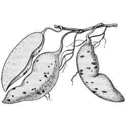 Батат — растение, картинка чёрно-белая