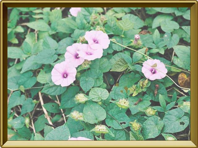 Батат — растение, фото в рамке №2