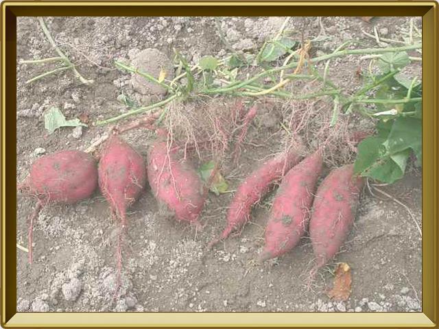 Батат — растение, фото в рамке №3